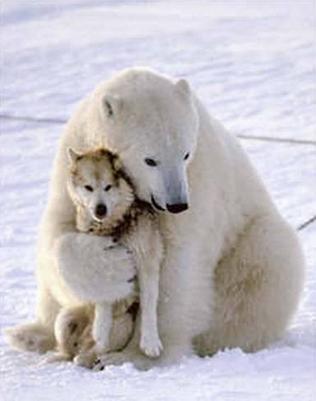 Polar Bear And Wolf Η αγάπη δεν κάνει διακρίσεις! Δείτε φωτό