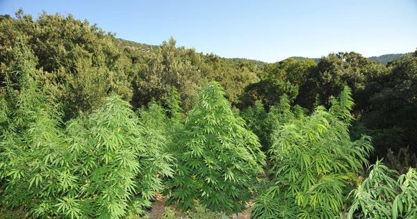 Αποτέλεσμα εικόνας για καλλιεργητής 240 χασισόδεντρων