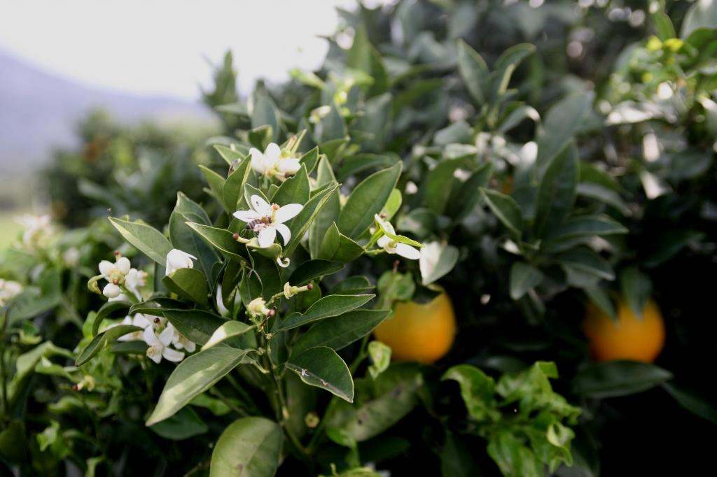 Μέσα στα λουλούδια οι πορτοκαλιές στις Μυκηνες