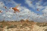 Επιδρομή 30 εκατ. ακρίδων στην Αίγυπτο! (ΒΙΝΤΕΟ)