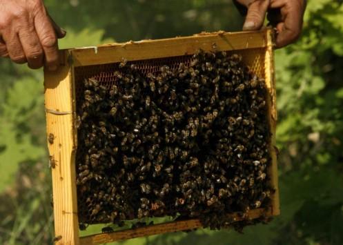 Ηλεία: Τον σκότωσαν οι μέλισσες!