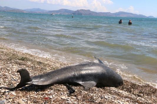 Νεκρό δελφίνι σε παραλία του Άργους (ΦΩΤΟ & VIDEO)
