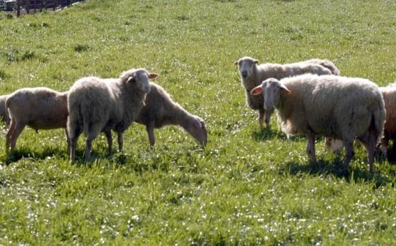 """Έβρος: Μεγάλη """"πληγή"""" για την κτηνοτροφία η ευλογιά"""