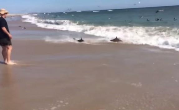 Πάνω από 100 καρχαρίες βγαίνουν στην παραλία! (video)