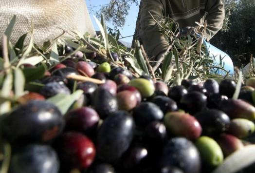 `Έγδυσαν` από ελιές το ξένο αγρόκτημα και... βρέθηκαν με χειροπέδες