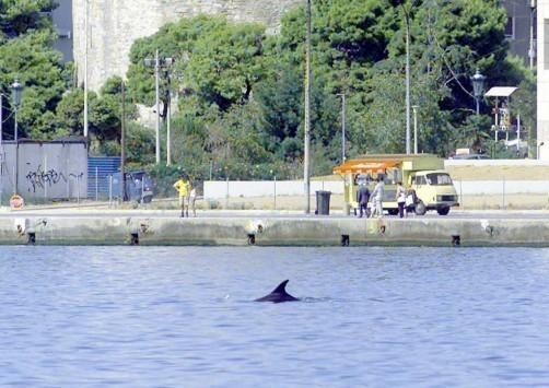 Ατραξιόν της Θεσσαλονίκης έχουν γίνει τα δελφίνια που σουλατσάρουν στον Θερμαϊκό