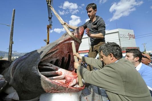 Βόλος: Καρχαρίας έχασε τον προσανατολισμό, μπήκε στον Παγασητικό και δείτε τι έγινε!