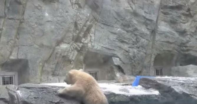 Το βίντεο που συγκινεί: Η διάσωση από την μαμά - αρκούδα