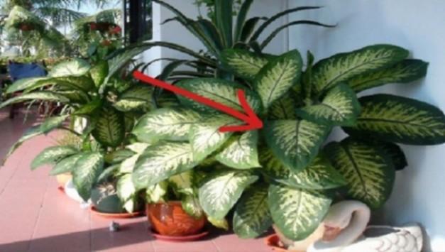 ΠΡΟΣΟΧΗ: Αυτό το φυτό προκαλεί τοξική δηλητηρίαση - Υπάρχει σε χιλιάδες σπίτια