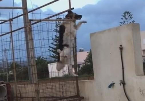 Ρέθυμνο: Ο σκύλος που έγινε viral - Δείτε πως φτάνει κοντά στην αγαπημένη του (Βίντεο)!