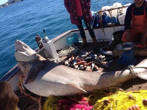 Πόρος: Ψάρεψε... καρχαρία 2,5 μέτρων! (ΦΩΤΟ)