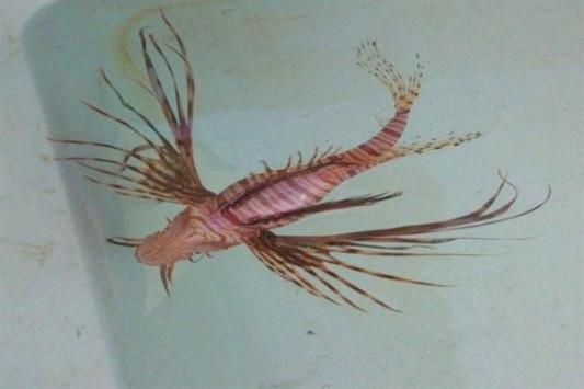 Κρήτη: Σήκωσε τα δίχτυα και είδε το δηλητηριώδες ψάρι που βλέπετε - Τι διαπιστώθηκε για το λεοντόψαρο (Φωτό)!