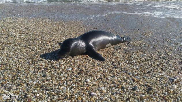 Μικρή φώκια λιάζεται στη Χαλκιδική και... ξετρελαίνει τους περαστικούς [pic]