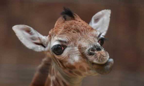 Μια σπάνια καμηλοπάρδαλη γεννήθηκε στο ζωολογικό πάρκο του Τσέστερ [pic]