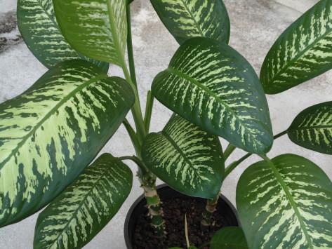 Φυτό που υπάρχει σε χιλιάδες σπίτια προκαλεί τοξική δηλητηρίαση – Τι πρέπει να ξέρετε