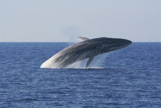 Σύρος: Κάθονταν στο κατάστρωμα και είδαν μπροστά τους μια φάλαινα 12 μέτρων [pics]