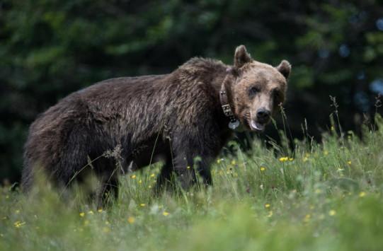 Νεαρός αρκούδος πήδηξε την περίφραξη για να βρεθεί με τα θηλυκά του `Αρκτούρου` [pics]