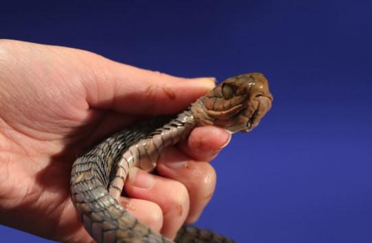 Τον δάγκωσε αυτό το δηλητηριώδες φίδι – Εκείνος κατέγραψε τον θάνατό του για χάρη της επιστήμης! [vid]