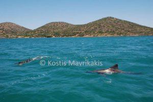 Ελούντα: Βούτηξε στη θάλασσα και είδε δίπλα αυτό το παγιδευμένο δελφίνι [pics]