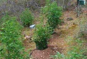 Έφτιαξε φυτεία κάνναβης σε αγροτική περιοχή της Θεσσαλονίκης [pic]