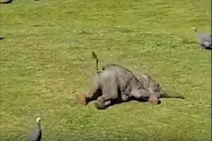 Μωρό ελέφαντας κυνηγάει πουλιά και «τρώει τα μούτρα του»! [vid]