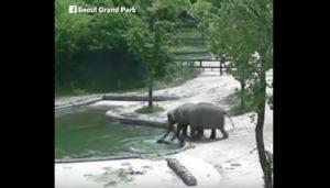 Ελέφαντες σώζουν μωρό ελεφαντάκι που παραλίγο να πνιγεί [vid]