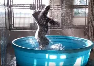 Αυτός ο γορίλας απολαμβάνει το νερό όσο κανείς! [vid]