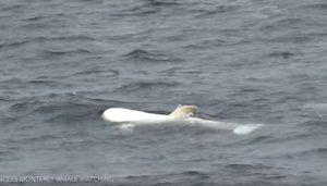Εντοπίστηκε δελφίνι με αλμπινισμό [vid]