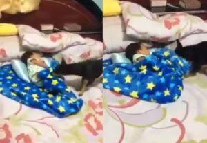 Σκύλος φτιάχνει το κουβερτάκι του μωρού! [vid]