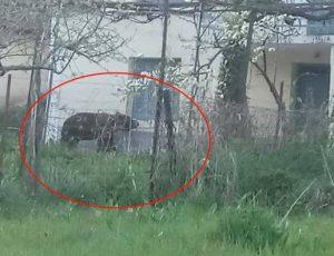 Φλώρινα: Αυτή είναι η αρκούδα που περιφέρεται σε κατοικημένες περιοχές [pics]