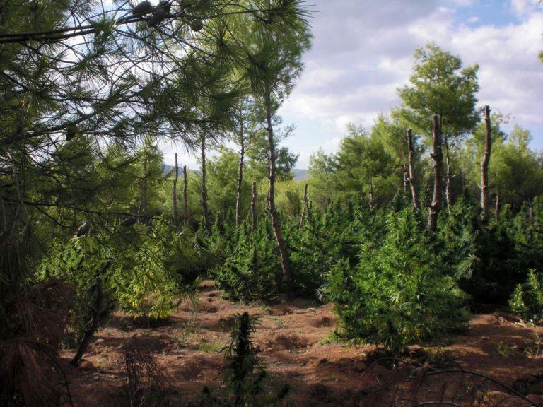 Εύβοια: 1,5 χιλιόμετρο γεμάτο χασισόδεντρα – Δείτε φωτογραφίες! | Newsit.gr