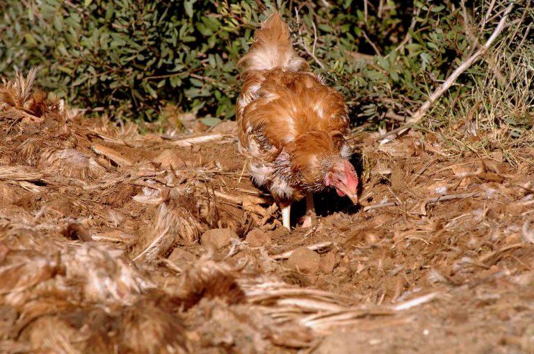 Πάτρα: Δεν είχε αφήσει κότα για κότα! | Newsit.gr