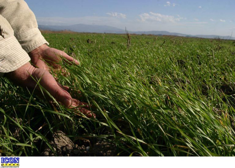 Καρδίτσα: Καταστράφηκαν χιλιάδες στρέμματα με σιτηρά   Newsit.gr