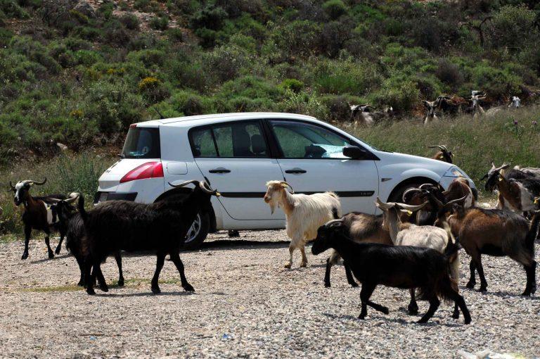 Ρόδος: Χαροπαλεύει οδηγός από σύγκρουση με κατσίκες!   Newsit.gr