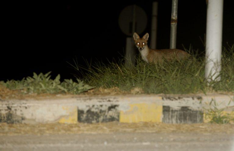 Κοζάνη: Λυσσασμένη αλεπού δάγκωσε σκύλο-Σε συναγερμό οι υγειονομικές υπηρεσίες! | Newsit.gr