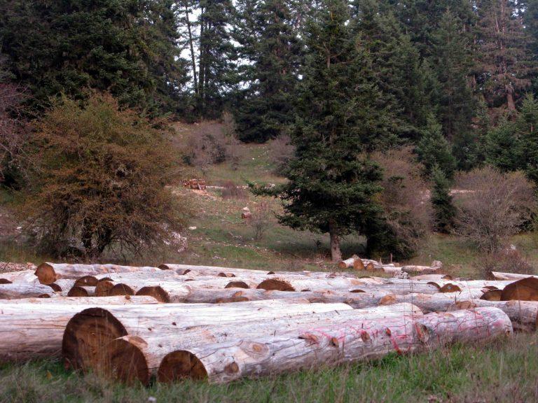 Ξάνθη: Τους έπιασαν την ώρα που έκοβαν παράνομα δέντρα! | Newsit.gr