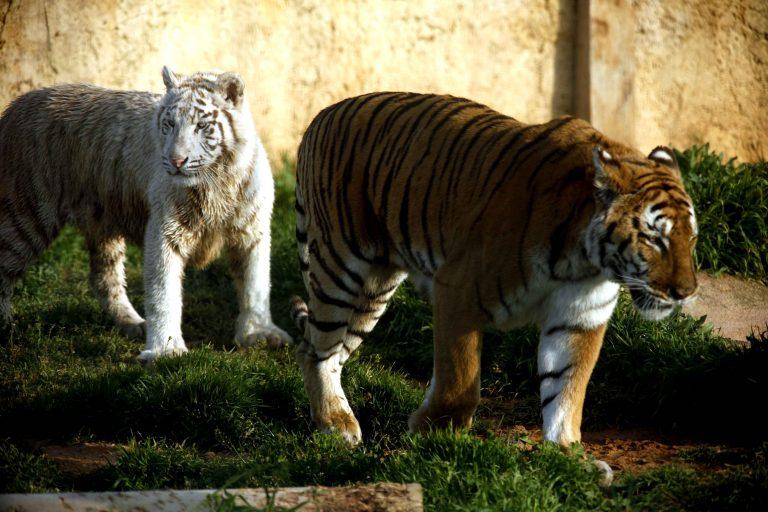Τρίκαλα: Ταίζουν τις τίγρεις παστίτσιο και μπριάμ!   Newsit.gr