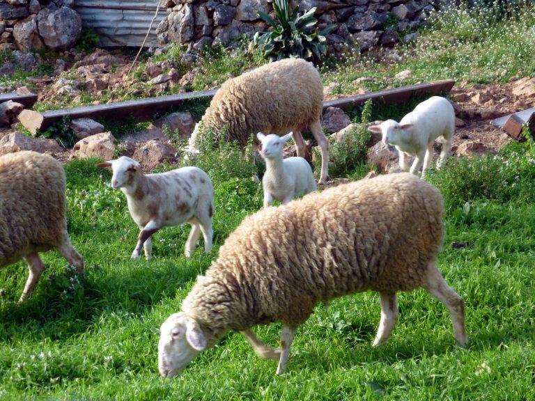 Τρίκαλα: Αγέλη λύκων κατασπάραξε 20 πρόβατα! | Newsit.gr