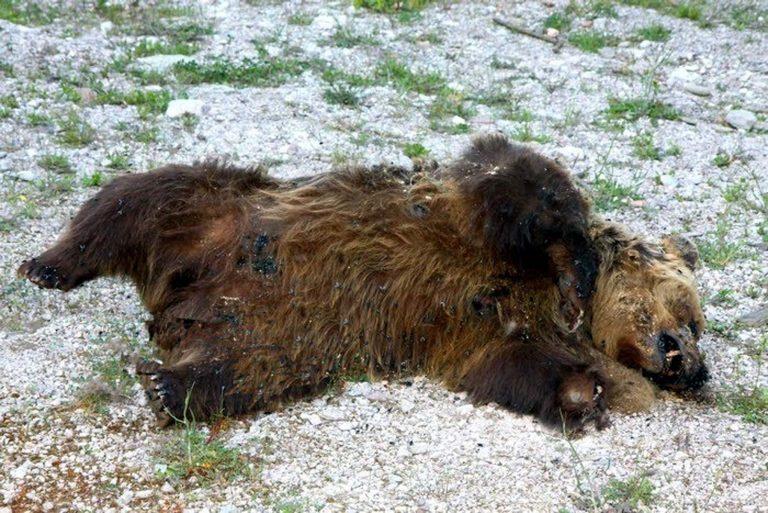 Μία ακόμη νεκρή αρκούδα στην Καστοριά! | Newsit.gr