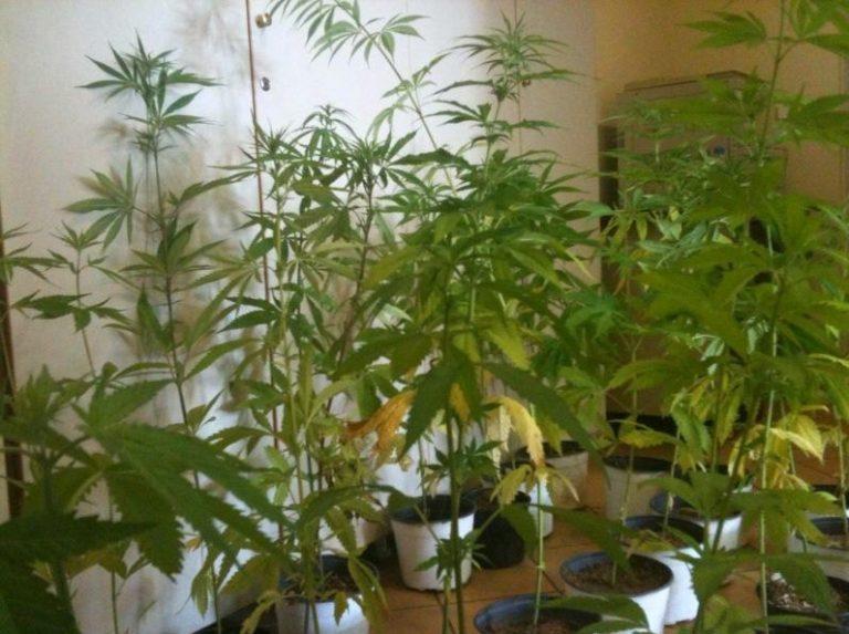Λακωνία: Καλλιεργούσε χασισόδεντρα σε θερμοκήπια! | Newsit.gr