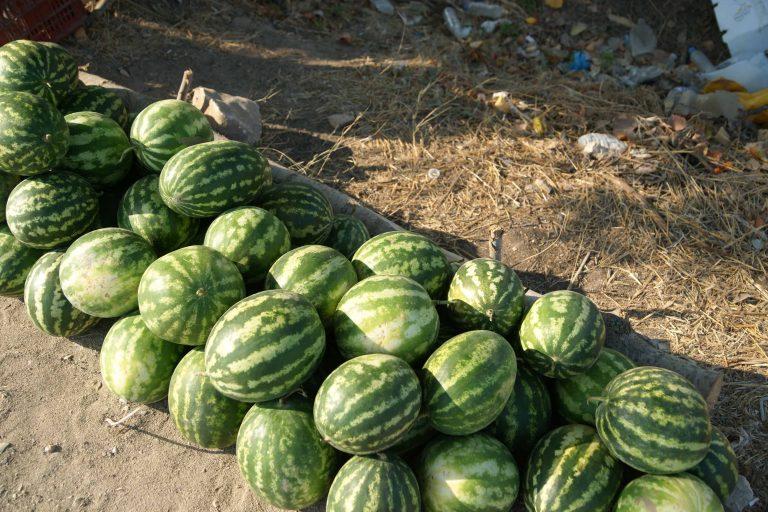 Ηράκλειο: Οι κλέφτες πρόλαβαν τον παραγωγό – Του έκοψαν όλα τα καρπούζια! | Newsit.gr