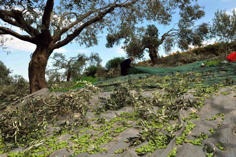 Ηράκλειο: Έκοβε ξένες ελιές! | Newsit.gr