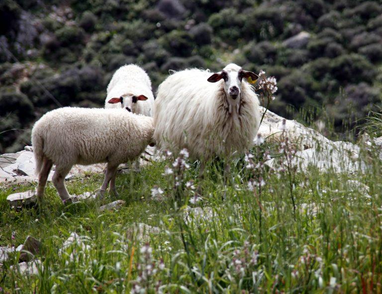 Ρέθυμνο: Τα πρόβατα έκαναν φτερά… | Newsit.gr