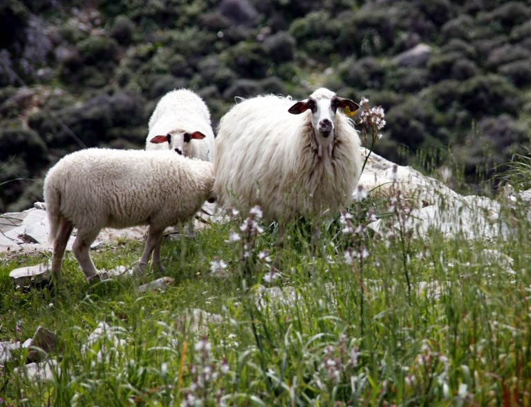 Κρήτη: Φόρτωσαν τα κλεμμένα πρόβατα σε κλεμμένο φορτηγό! | Newsit.gr