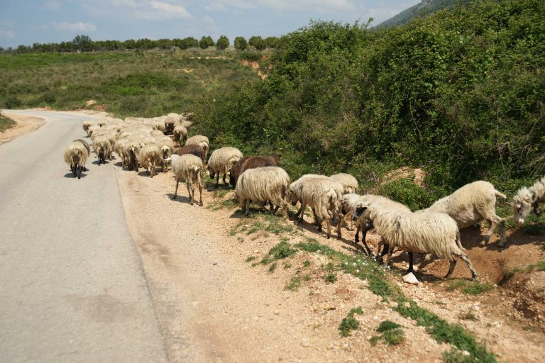 Λασίθι: Στον εισαγγελέα επειδή έσφαξε παράνομα τα ζώα του! | Newsit.gr