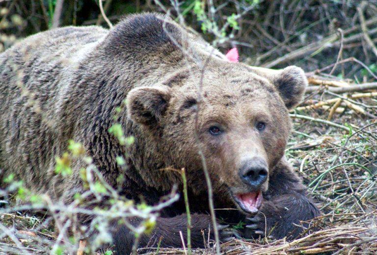 Καστοριά: Ακόμα μία αρκούδα έσβησε στην άσφαλτο… | Newsit.gr