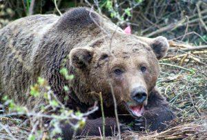 Καστοριά: Οι αρκούδες έφτασαν στη λίμνη – Ο χάρτης της νυχτερινής τους περιπλάνησης [pic]