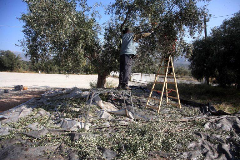 Κρήτη: Η εικόνα που αντίκρισε καθώς κλάδευε τις ελιές, τον έκανε να »παγώσει»! | Newsit.gr