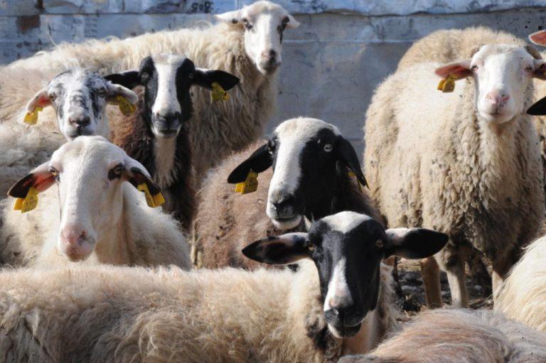 Μετωπική σύγκρουση με… πρόβατα στην Ηλεία! | Newsit.gr