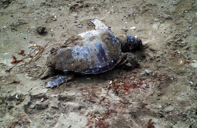 Πρέβεζα: Νεκρή χελώνα βρέθηκε σήμερα στην Λούτσα – Η τέταρτη σε μια εβδομάδα   Newsit.gr